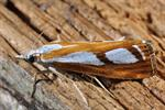 Catoptria permutatellus